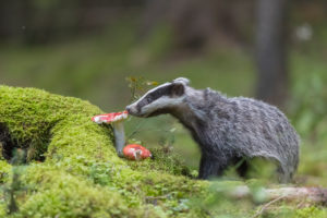 One young European badger (Meles meles) on a fly agaric mushroom looking for food, standing on a mossy forest floor.