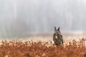 One female Eurasian Eagle Owl, Bubo bubo, sitting on a meadow. Slight fog around. A forest in the background. Autumnal colors.
