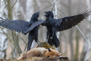 Two common raven (Corvus corax) fighting on the carcass of a red fox lying on stones in a forest of birch trees.