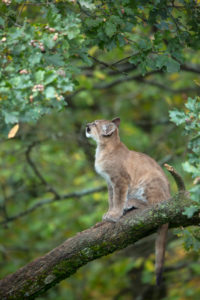 One young cougar, Puma concolor, sitting on a big branch high up in an oak tree.