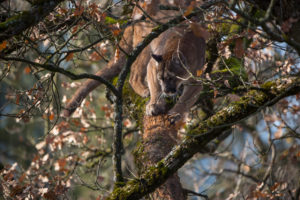 One adult cougar, Puma concolor, resting on a big branch high up in an oak tree.