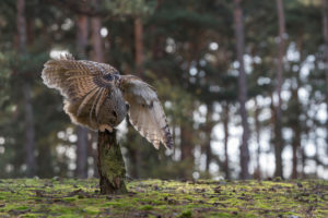 One Siberian Eagle Owl (Bubo bubo sibiricus) flying thru a forest, landing on a tree stump.