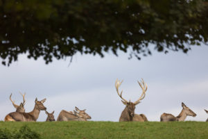 A herd of red deer resting on a meadow in sunshine