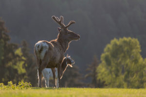 Red Deer stag, Cervus elaphus, early morning, backlight with a goat accompanying the deer.