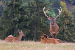 Red Deer buck standing on a meadow in autumn. Accompanied by some females. Trees in background