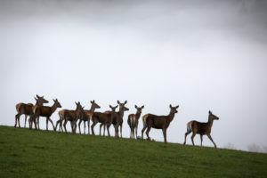 A herd of female red deer standing on a meadow with a wall of fog behind them
