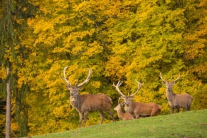 Red Deer stag at the rutting season. With trees in background.