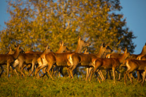 A herd of female red deer standing on a meadow in sweet evening light.