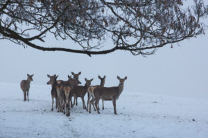 A herd of female red deer standing on a snow covered meadow on a foggy day
