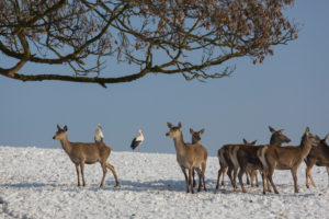 A herd of female red deer standing on a snow covered meadow with two white storks behind them