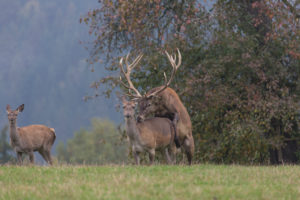 Red Deer buck standing on a meadow in autumn. Fog and trees in the background. Mating scene
