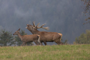 Red Deer buck standing on a meadow in autumn. Fog and trees in the background. Rutting season, rutting call.