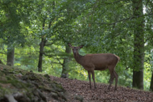 female Red Deer in a forest