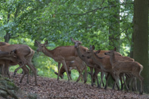 A flock of female and young Red Deer in a forest