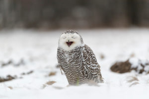 One Arctic owl, Bubo scandiacus,Bubo scandiaca, Nyctea scandiaca sitting on a snowy meadow, screeching
