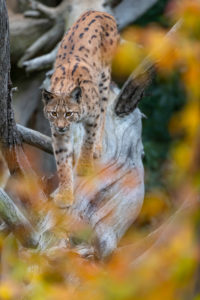One Eurasian lynx, (Lynx lynx), walking down a fallen tree. Frontal view with fall foliage around