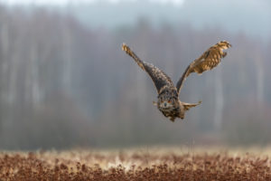 One male Eurasian Eagle Owl, Bubo bubo, flying over a meadow. Slight fog around. A forest in the background.