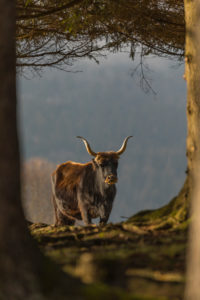 One male aurochs or urus or ure (Bos primigenius), standing at a forest edge on a sunny day.