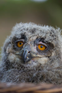 Portrait of an juvenile Eurasian Eagle Owl, Bubo bubo. Green vegetation in the background