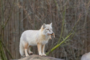 One corsac fox (Vulpes corsac) standing on a log with a chicken in his mouth
