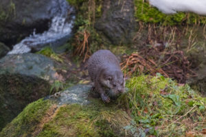 One Eurasian otter (Lutra lutra), walking down the mossy rocks, next to a cascade. Some snow around