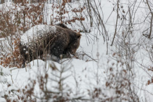 One eurasian brown bear (Ursus arctos arctos) walking through a snow covered open forest during snowfall.