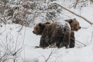 Two eurasian brown bears (Ursus arctos arctos) resting in a snow covered open forest during snowfall.