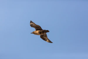 One great skua (Stercorarius skua) flying. Blue sky in the background