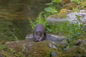 One Eurasian otter (Lutra lutra), resting on a mossy rock. Green water reflections in the background