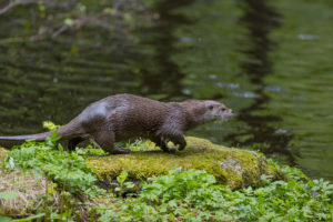 One Eurasian otter (Lutra lutra), walking over a mossy rock. Green water reflections in the background
