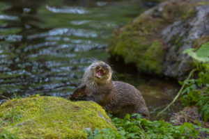 One Eurasian otter (Lutra lutra), sitting on a mossy rock and eating a fresh caught fish.