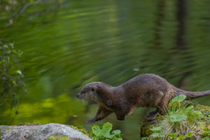 One Eurasian otter (Lutra lutra), running over a mossy rock. Green water reflections in the background.