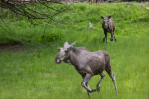 One adult female moose or elk, Alces alces, running, chasing away a male moose to protect her two babies.