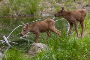 Two baby moose or elk, Alces alces, 19 days old standing on a meadow with fresh green grass. A little pond in the background