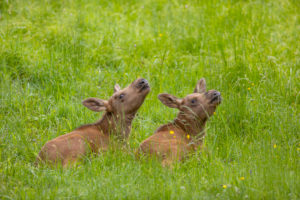 Two baby moose or elk 19 days old, Alces alces, resting on a meadow with fresh green grass.