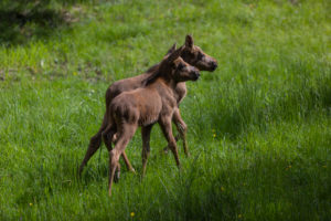 Two baby moose or elk, Alces alces, 19 days old walking through tall fresh green grass.