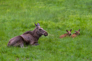 One adult female moose or elk, Alces alces, with two baby moose 19 days old resting on a meadow with fresh green grass.