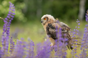 One young Eurasian Eagle Owl, Bubo bubo, sitting on a twig between lupines growing on a meadow.