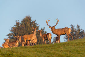 A herd of red deer (Cervus elaphus) standing on a meadow, with trees and blue sky in the background.