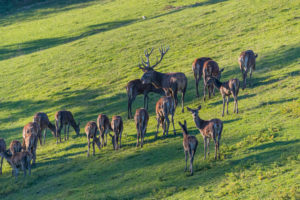 A herd of red deer (Cervus elaphus) standing on a meadow,