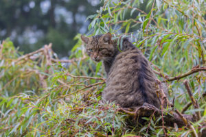 One European wildcat, Felis silvestris silvestris, resting in a green weeping willow tree. Green leaves all around.