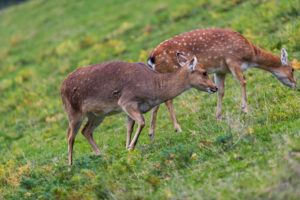 Two female Manchurian sika deer or Dybowski's sika deer (Cervus nippon mantchuricus or Cervus nippon dybowskii) standing on a meadow on hilly ground.