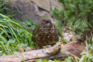 One Kea, Nestor notabilis, standing in green vegetation, feeding on something.New Zealand