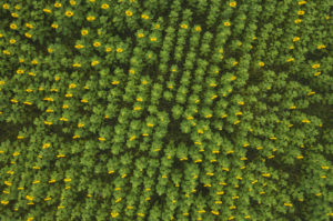 Germany,†Brandenburg, Drone view of vast sunflower field