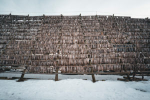 Fish drying on wooden rack, Lofoten, Norway