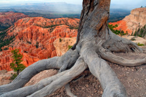 USA, Utah, Roots of dead tree in Bryce Canyon National Park