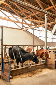 Cows standing in pen at dairy farm