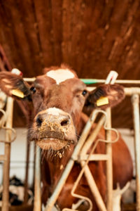 Close-up of brown cow looking away while standing in barn