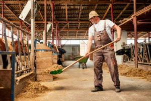 Male farmer feeding hay to cows with shovel in dairy farm