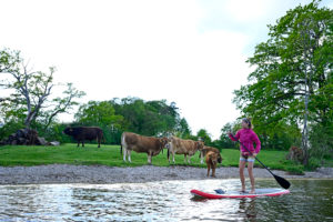 Woman stand up paddling on Lake Staffelsee with cattle on lakeshore, Bavaria, Germany